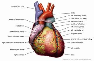 Anatomy_Heart_English_Tiesworks[1]